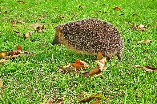 Hedgehog, Rodent, Animal, Spiny Animal, Spiny Mammal