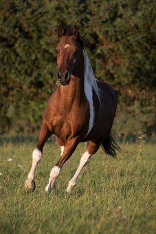 Horse, Running, Galloping, Running Horse