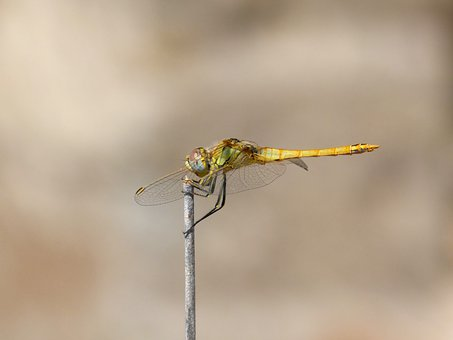 Dragonfly, Insect, Wings, Junco, Orthetrum Chrysostigma