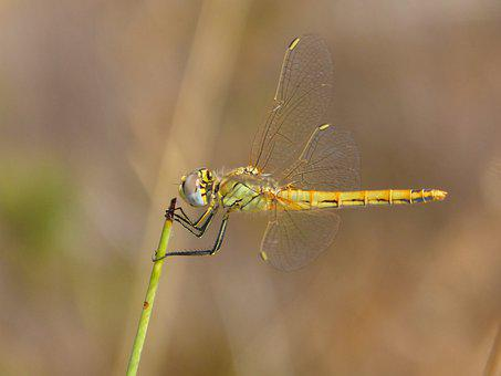 Dragonfly, Yellow Dragonfly, Epaulet Skimmer, Insect