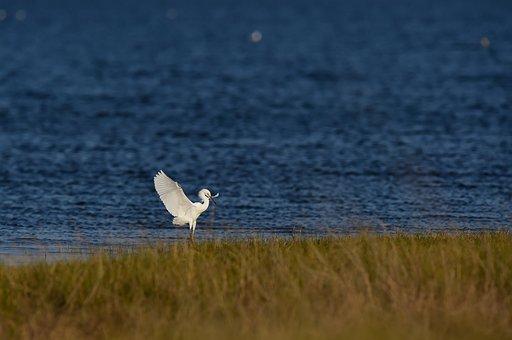 Bird, Heron, Lake, Nature, Safari, Wild, Species