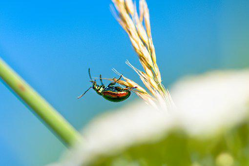 Rose Beetle, Insect, Beetle, Bug, Plant, Nature