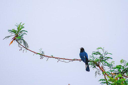 Cuckoo, Bird, Perched, Perched Cuckoo, Feathers