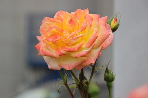 Rose, Flower, Plant, Bicolor Flower