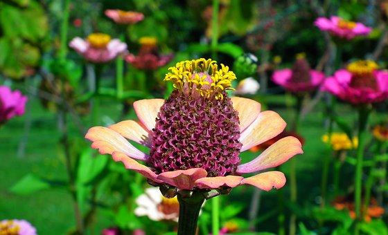 Flower, Zinnia, Petals, Plant, Flowering Plant