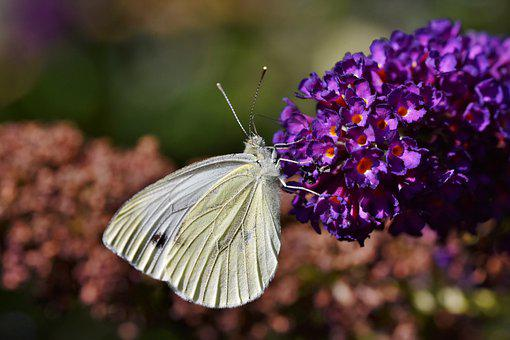 Butterfly, White Sling, Lepidoptera, Pollinate