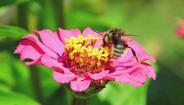 Honeybee, Zinnia, Pollination, Insect, Bee, Flower