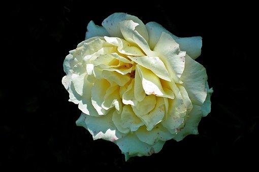 Rose, Flower, Petals, Plant, Bloom, Blossom