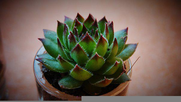 Succulents, Sempervivum, Plant, Pot, Soil, Houseleek