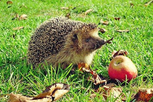 Hedgehog, Rodent, Animal, Spiny Animal