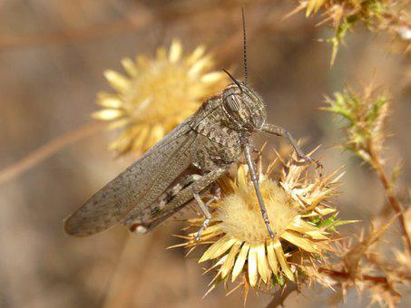 Heath Grasshopper, Steppe Grasshopper, Grasshopper