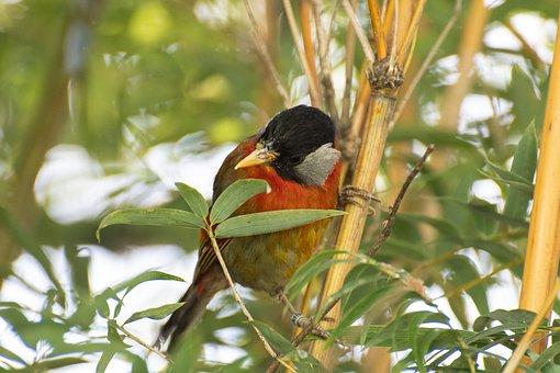 Sumatran Mesia, Bird, Animal, Small Bird