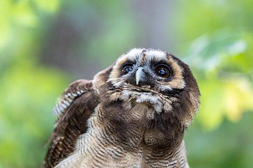 Owl, Tawny Owl, Bird, Brown Owl