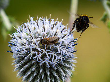 Thistle, Bumble Bees, Bees, Flower, Pollinate