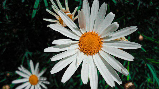 Daisies, White Daisies, Bloom, Blossom, White Flowers