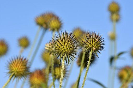 Burdock, Thistles, Prickly Flower, Plants, Wild Flower