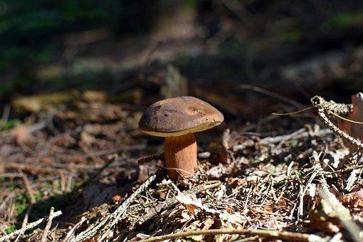 Mushroom, Wild Mushrooms, Mushrooms, Brown Cap