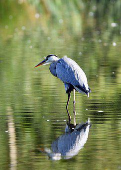 Heron, Bird, Water Bird, Pond, Wildlife, Nature