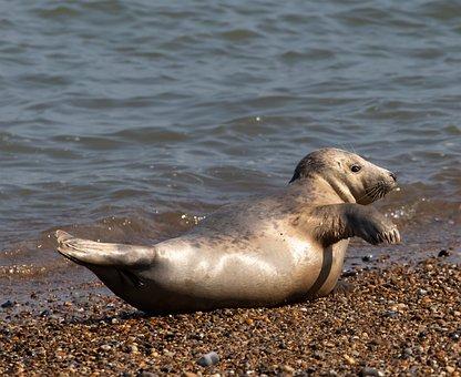 Harbor Seal, Seal, Coast, Shore, Seashore, Animal