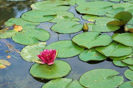 Water Lily, Flower, Plant, Aquatic Plant, Blossom