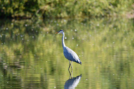Heron, Bird, Lake, Water, Water Reflection, Animal