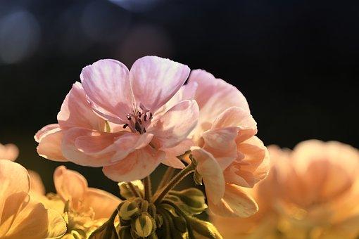 Geraniums, Blossom, Bloom, Flowers, Close Up, Petals
