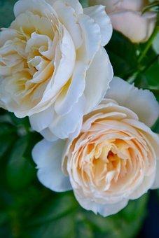 Roses, Flowers, Petals, Bloom, Blossom