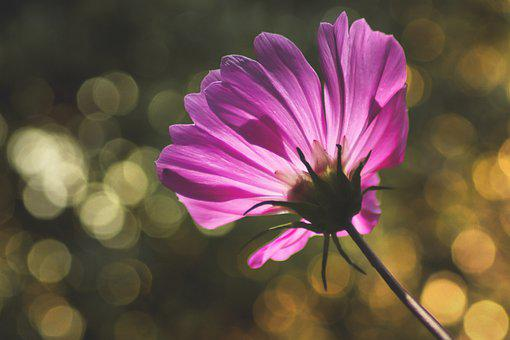 Flower, Bokeh, Bloom, Blossom, Cosmos, Purple Flower