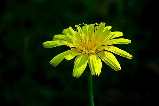 Flower, Yellow Flower, Petals, Bloom, Blossom