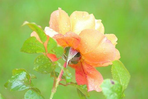 Climbing Rose, Rose, Blossom, Dew, Dew Drops, Raindrops