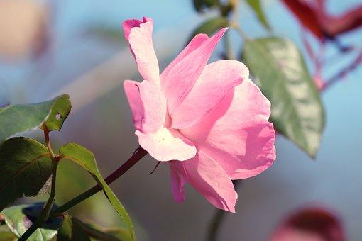 Rose, Flower, Pink Rose, Blossom, Bloom, Pink Petals