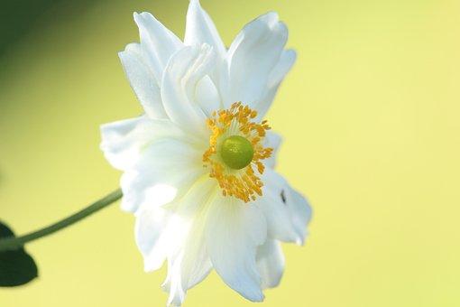 Flower, Anemone, White Flower, White Petals, Blossom