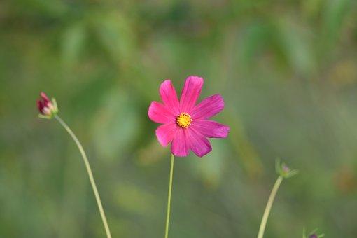 Flowers, Pink Flower, Bloom, Blossom, Pink Petals