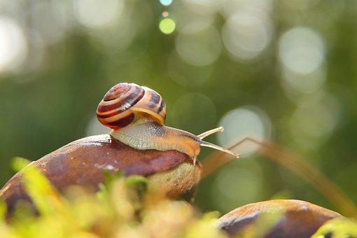 Snail, Grove Snail, Mollusc, Brown-lipped Snail
