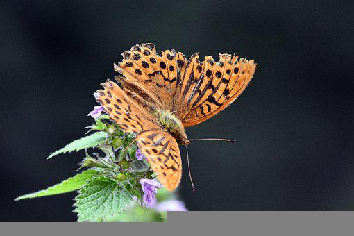 Butterfly, Wings, Butterfly Wings, Insect, Lepidoptera