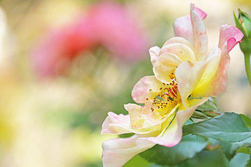 Climbing Rose, Rose, Blossom, Bloom, Garden, Pollen