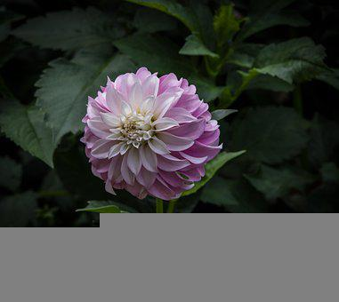 Dahlia, Flower, Petals, Bloom, Blossom, Flowering Plant