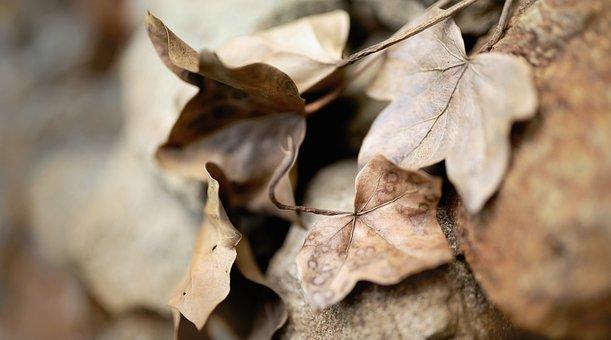 Leaves, Ivy, Dry Leaves, Brown Leaves