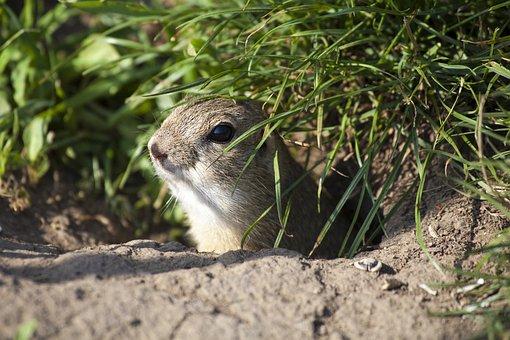 European Ground Squirrel, Rodent, Animal
