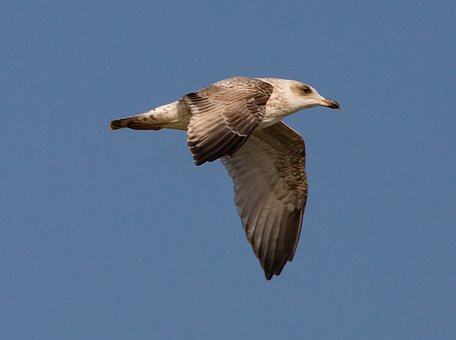 Herring Gull, Gull, Flight, Flying, Bird, Seabird