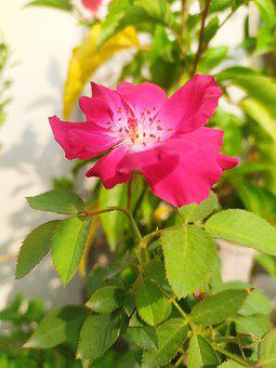 Flower, Bloom, Blossom, Pink Flower, Pink Petals
