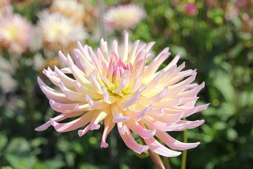 Dahlia, Henriette Dahlia, Flower, Petals, Bloom