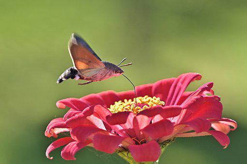 Hummingbird Hawk Moth, Motte, Flower, Insect, Zinnia