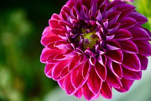 Dahlia, Pompon Dahlia, Flower, Pink Flower, Petals
