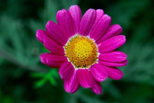 Chrysanthemum, Flower, Pink Flower, Mums, Chrysanths