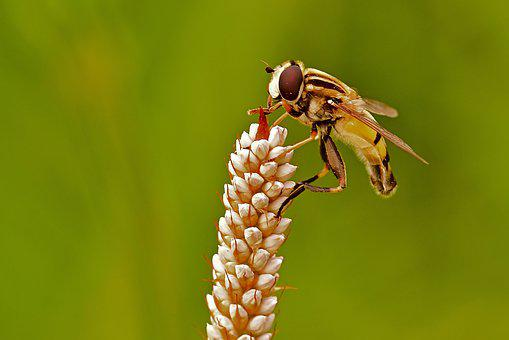Hoverfly, Insect, Wings, Bug, Flower, Plant, Blossom