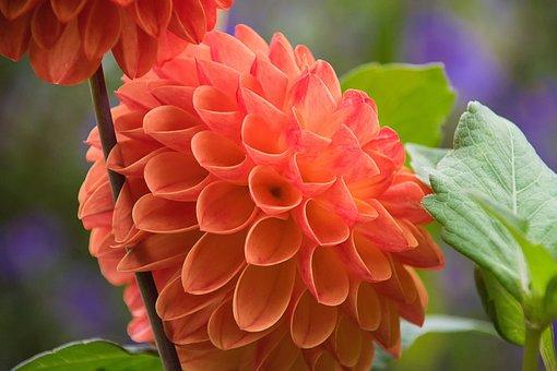 Dahlia, Red Dahlia, Flower, Red Flower, Petals, Bloom