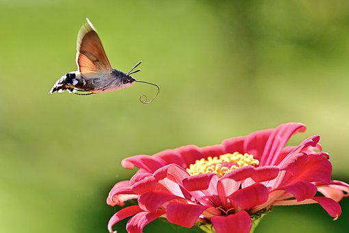 Hummingbird Hawk Moth, Moth, Flower, Insect, Zinnia