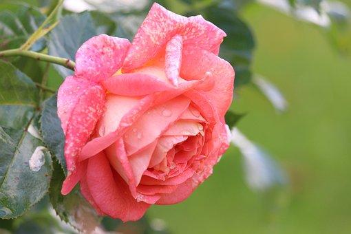 Rose, Blossom, Bloom, Flowers, Pink Flower, Pink Petals