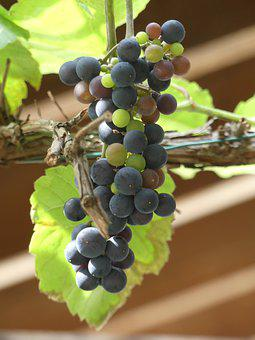 Grapes, Fruits, Vine, Grapevine, Vineyard, Foliage